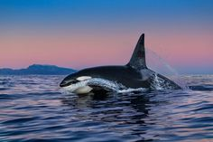 More Than 30 killer whales orcas killerwale orche Orcas, Beautiful Creatures, Animals Beautiful, Dolphin Family, Bottlenose Dolphin, Ocean Creatures, Killer Whales, Ocean Life, Marine Life