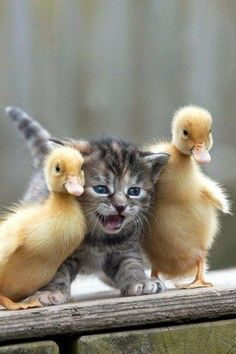 Cute kitten standing between the two ducklings.... (click on picture to see more)