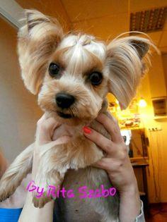 Cute hair cut for yorkie Dog Grooming Styles, Pet Grooming, Yorkie Haircuts, Maltese Haircut, Yorkshire Terrier Haircut, Creative Grooming, Yorky, Basic Dog Training, Dog Grooming Business