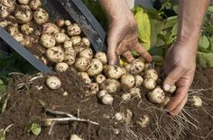 Técnica fácil y efectiva para cultivar patatas o papas en contenedores.