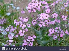 Image result for vaccaria hispanica