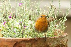 robin in the flowerpot