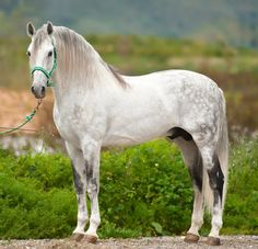 Andalusian - great example, short back, compact, muscled body, defined face, good feet - no hair gene.
