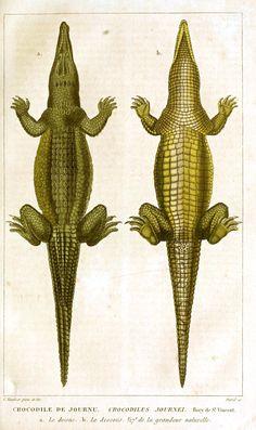 Animal - Reptile - Crocodile -Vintage - Natural History - Botanical - Scientific - Print - Croc