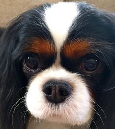 Discover Fun Cavalier King Charles Spaniel And Kids King Charles Spaniel, Cavalier King Spaniel, King Charles Puppy, Cavalier King Charles Dog, Cocker Spaniel, I Love Dogs, Cute Dogs, Beautiful Dogs, Dog Life