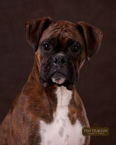 Bella, my lovely boxer girl.