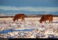 calgary cattle - Google Search Calgary, Cattle, Cow, Police, Google Search, Animals, Gado Gado, Animales, Animaux