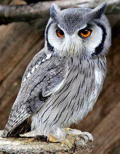 White face Scops Owl