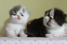 Persian kittens for sale   Persian Cats