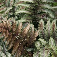 Pewter Lace Painted Fern Athyrium niponicum 'Pewter Lace' P. Woodland Plants, Woodland Garden, Herbaceous Perennials, Shade Perennials, Lace Painting, Woman Painting, Lily Garden, Shade Garden, Fern Plant