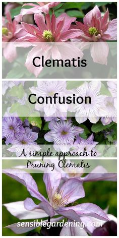 A simple approach to pruning clematis with Sensible Gardening