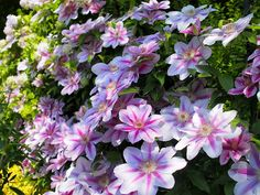 Clematis care and tips! How to grow clematis vines, where to plant them, how to prune clematis plants, and known pests. Clematis, Gardening Apps, Clematis Vine, Pretty Flowers, Clematis Plants, Blossom Garden, Japanese Garden, Plants, Types Of Flowers