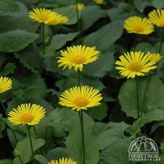 Find Leonardo Compact Leopard's Bane (Doronicum orientale 'Leonardo Compact') in Burlington Waterdown Dundas Ontario Ontario ON at Connon Nurseries Garden Border Edging, Garden Borders, Herbaceous Perennials, Shade Perennials, Bane, Oriental, Shade Garden Plants, Alpine Garden, European Garden