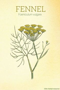 The Herb Fennel (Foeniculum vulgare)