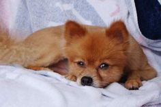 Beaten Pomeranian found with note: 'We beat it 2 death lol' | News-JournalOnline.com