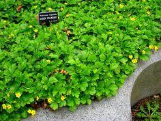 Appalachian Barren Strawberry (Waldsteinia Fragarioides) http://www.sagebud.com/appalachian-barren-strawberry-waldsteinia-fragarioides