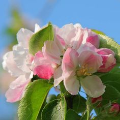 Arkansas: Apple Blossom | The pink-and-white blooms of Pyrus coronaria are extremely fragrant, appearing March through May, followed in September by clusters of light green to reddish bitter fruits.