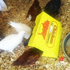 Does anyone else find it ironic that my chickens will eat chicken? #chickdays http://ift.tt/1NlLhvg