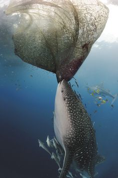 """A whale shark tilts upright and yanks on a net, trying to make off with a fisherman's catch."" Photo by Michael Aw from National Geographic."