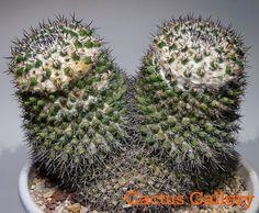 Mammillaria sp. Cactus Gallery