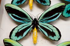 Butterfly Print, Butterfly Wings, Small Canvas Art, Interesting Animals, Beautiful Butterflies, Bugs, Cute Animals, Johanna Basford, Queen