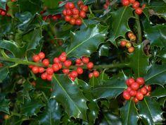 Cómo consumir adecuadamente el acebo!  #sientetebien #acebo #salud #Navidad