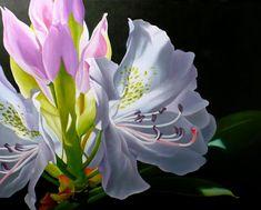 Rhododendron by Lillemut on deviantART