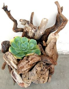 Echeveria large succulents in handmade pot made from local driftwood directly from Fairyscape a licensed nursery grower (due Succulent Gardening, Garden Terrarium, Cacti And Succulents, Planting Succulents, Planting Flowers, Succulent Planters, Succulent Containers, Glass Terrarium, Driftwood Planters