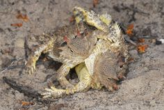 Mating Coast Horned Lizards (Phrynosoma blainvillii) | Flickr - Photo Sharing!