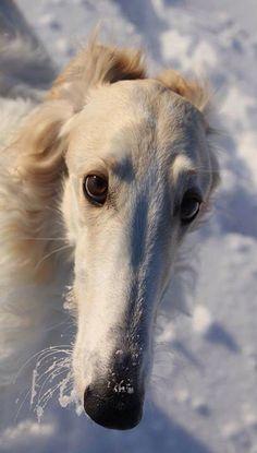 Borzoi's muzzle covered with snow. #animals #dogs #Borzoi
