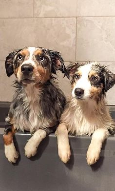 Wet or dry, gorgeous dogs!