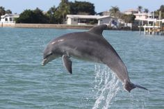 Dolphin at John's Pass, Madeira Beach, FL They swim by 2ce a day!!