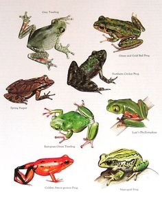 Tree Frogs Vintage 1984 Animals Book Plate by mysunshinevintage, $10.00