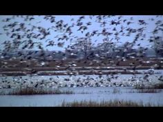 Snow geese swirl overhead, thousands of them moving as one.