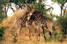 Male Giraffe tussling for dominance Giraffe Images, African Safari, Travel Deals, Travel Abroad, Traveling By Yourself, To Go, Wildlife, Adventure, Gallery
