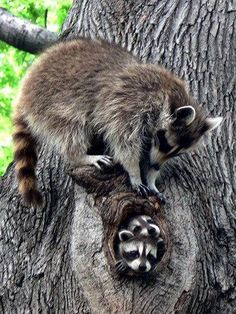 Loving Mother by Raccoon