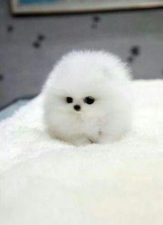 White teacup Pomeranian