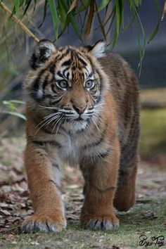 Sumatran tiger is smallest subspecies of Tiger in the world