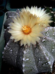 Astrophytum myriostigma cv. multicostatum [Family: Cactaceae]