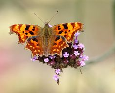 The Comma butterfly (Polygonia c-album)