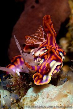 Miamira flavicostata | ©Felipe Barrio  (Komodo, Indonesia)  Miamira flavicostata (Nudibranchia - Chromodorididae), formerly Ceratosoma flavicostatum [1] [2], is a beautiful sea slug native to the Western Pacific.