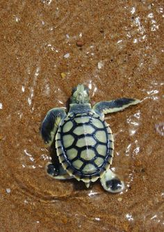 Best photos, images, and pictures gallery about baby sea turtle - sea turtle facts. Cute Creatures, Sea Creatures, Beautiful Creatures, Animals Beautiful, Baby Sea Turtles, Cute Turtles, Turtle Baby, Cute Baby Animals, Funny Animals