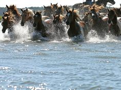 Wild ponies are herded into the Assateague Channel for their annual swim to Chincoteague Island in Virginia. Every year, the wild ponies are rounded up to be auctioned off by the Chincoteague Volunteer Fire Company.