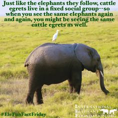 """""""Happy #EleFunFactFriday Just like #elephants they follow, cattle egrets live in fixed social groups, so when you see the same elephants..."""""""