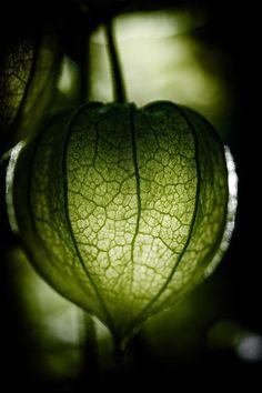 Green Die gruene Physalis by feigenfrucht