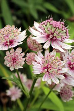 Star-throated, Astrantia - care, multiplication and wintering- Sterndolde, Astrantia – Pflege, Vermehren und Überwintern Star-goldens more - Shade Garden, Garden Plants, Vegetable Garden, Garden Care, Back Gardens, Plant Care, Dream Garden, Garden Projects, Garden Ideas