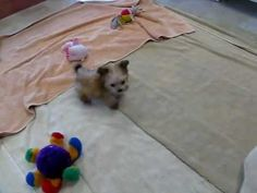 Micro Teacup Morkie Puppy - Yorkshire Terrier and Maltese Mix - YouTube https://www.youtube.com/watch?v=ZdxbnCHSSnc