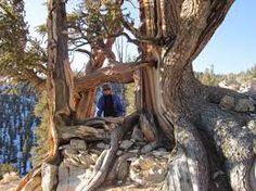 bristlecone pine - Google Search