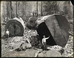 Ancient Redwoods destroyed. . But still resisting illegal logging till this day!!