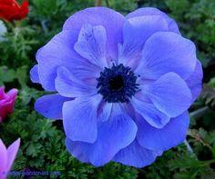 "Grecian Windflower, Poppy Anemone 'Lord Lieutenant' Anemone coronaria - ""Beautiful double anemones in bright colors. """